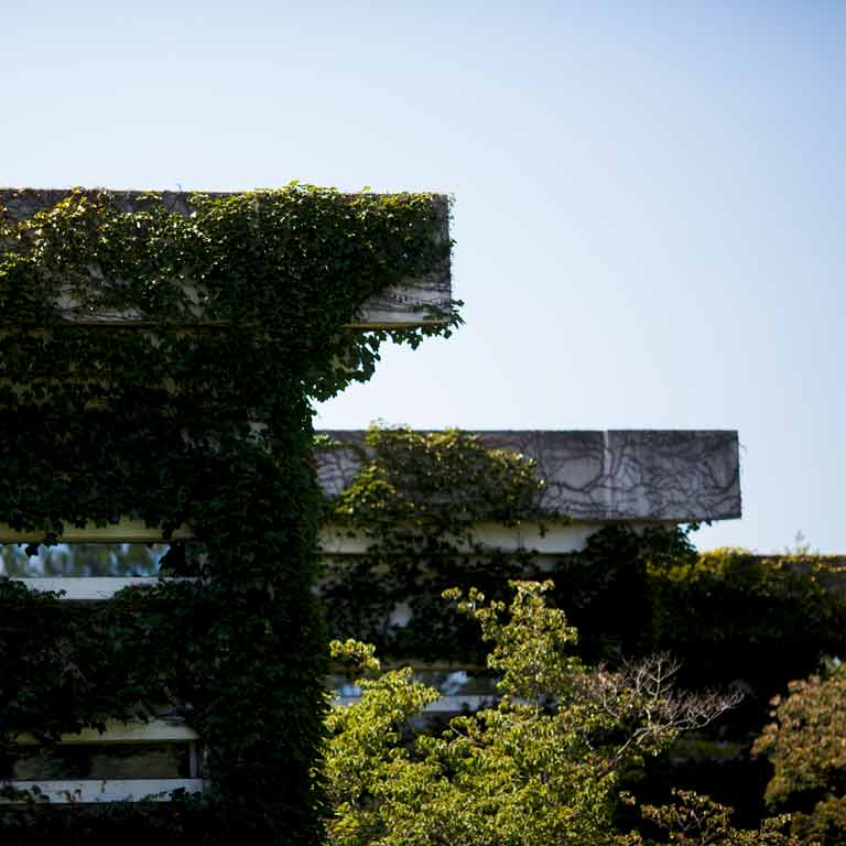 Ivy grows on a building.